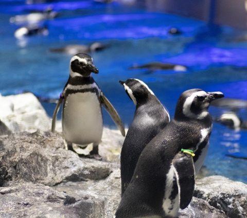 【チリ】ペンギンだらけの楽園!パタゴニアでマゼランペンギンの島に上陸!