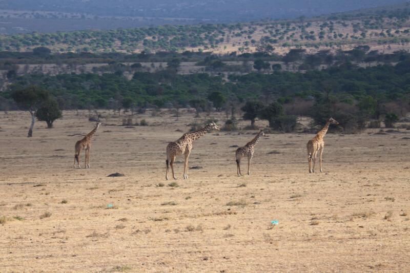 【ケニア】マサイマラ国立公園でサファリツアー!見られた動物や格安現地ツアー情報をご紹介。