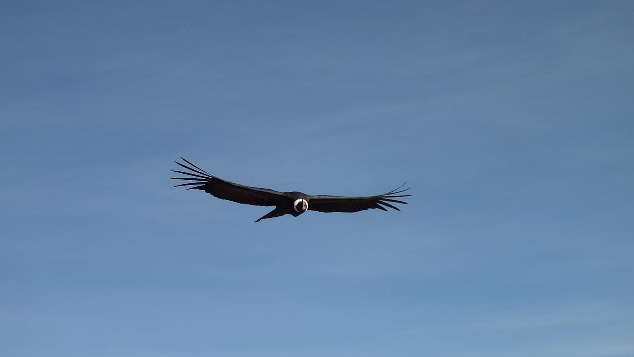 【ペルー】コンドルは飛んでいく~コルカ渓谷でコンドル探し!コンドルの種類も解説。