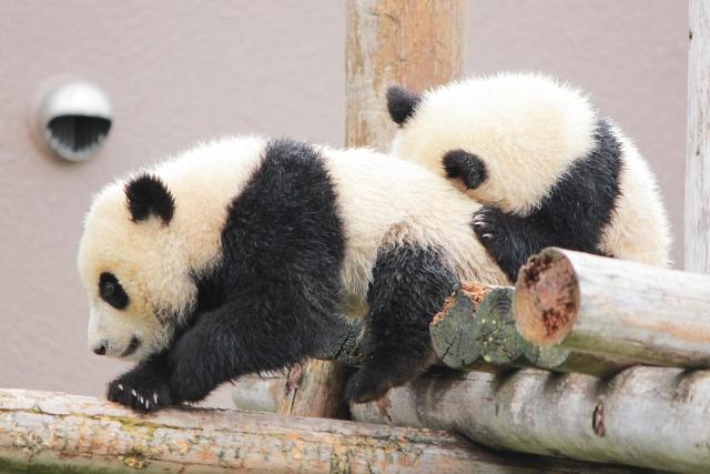 【中国】動物園でパンダが見よう。!本場、成都パンダ繁殖研究基地で赤ちゃんパンダを堪能。