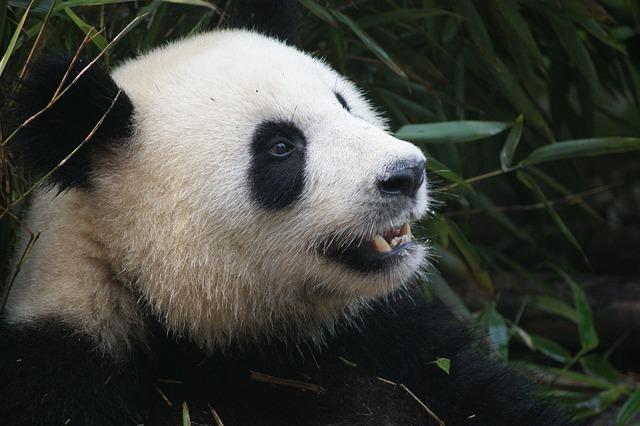 ジャイアントパンダは2種類いる!茶色の「qinling panda」秦嶺亜種とは?