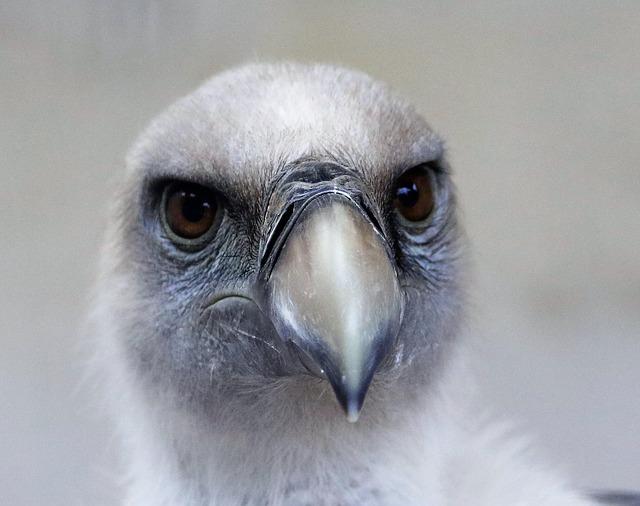 【鳥の雑学】ハゲワシ?ハゲタカ?ハゲた鳥の種類と魅力、ハゲの利点を解説。