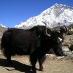 【東チベット】チベットでヤクが見たい!リタンでヤクの放牧をのんびり観察。