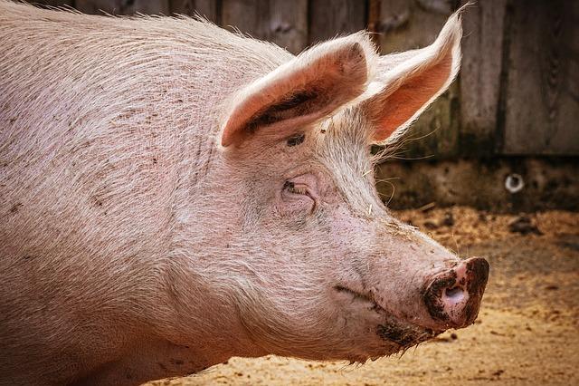 【感染拡大】豚コレラとは何か?どれくらい危険?これからどうなる?