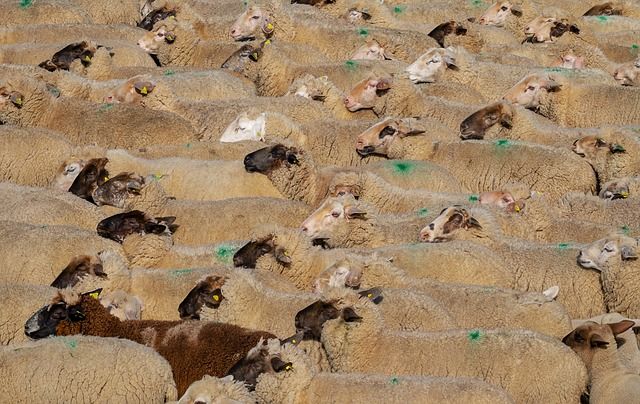 【キルギス】トクマクでアニマルマーケットに潜入!仔羊1頭3000円から。