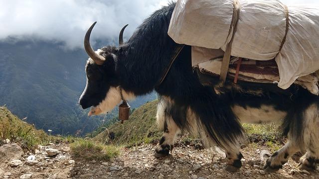 【働く動物:ヤク】お肉にニットに大活躍。チベットの万能牛ヤクの情報まとめ