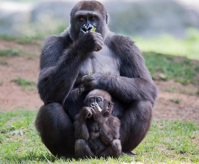 エボラウイルス病でゴリラやチンパンジーが激減しているって本当?! ワクチンはあるの?