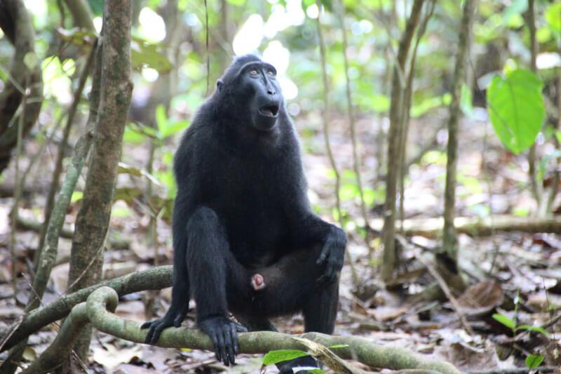【インドネシア動物旅】スラウェシ島、タンココ自然保護区で動物探し!行き方や費用を完全解説!
