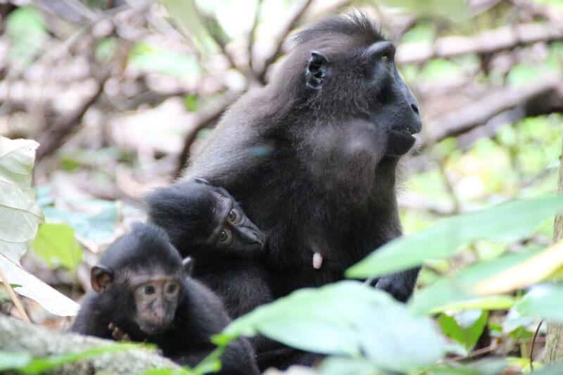 【タンココ自然保護区②】朝のツアーは動物たくさん!クロザル、クスクス、サイチョウを観察!