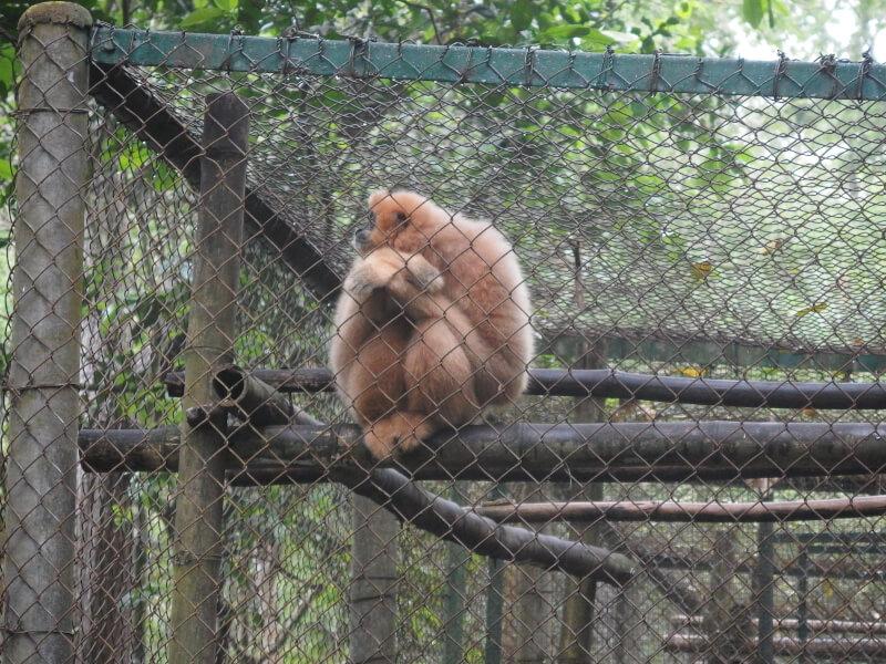 【ベトナム動物旅】クックフォン国立公園のサル保護センターで絶滅危惧種のラングールたちに出会う。