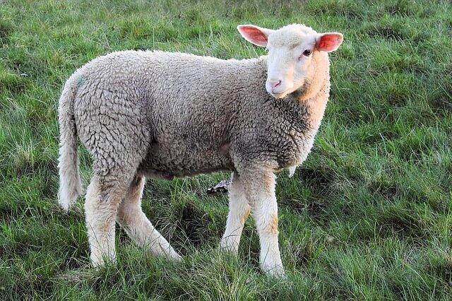 羊のしっぽはなぜ短い?羊の本当の姿としっぽを切る理由を解説!