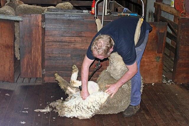 【潜入調査】オーストラリアの羊牧場の営みとは?仕事内容や羊産業を解説します!